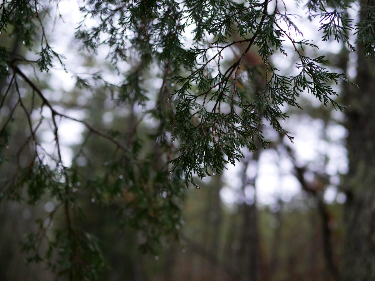 Photo of fir tree needles. Shot on a mirrorless camera at twilight, ISO 1600, f/1.7